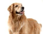 Стерилизация собак, кастрация собак киев, цена кастрировать собаку, стоимость кастрации собаки,