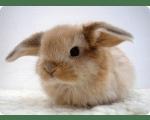 Кастрация кролика