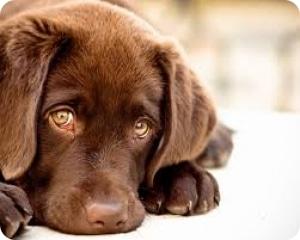 Моча в животе у собак