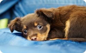Выделения из влагалища у собак