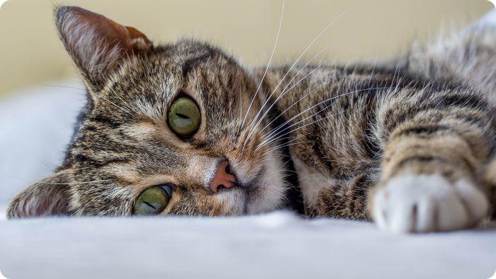 До какого возраста проводят стерилизацию кошек?