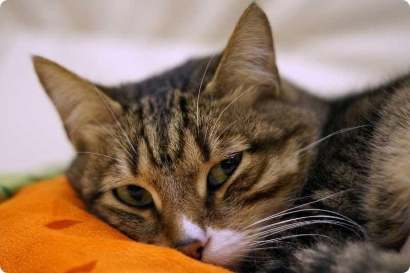 Нужно ли вязать кошку перед стерилизацией?