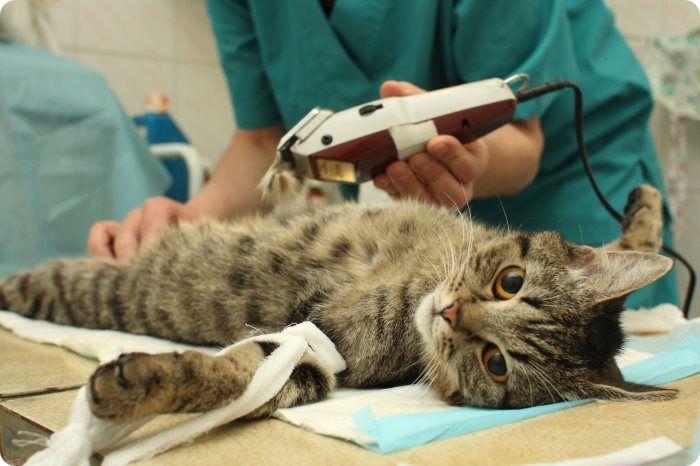 Стерилизация кошки - в какой период лучше?