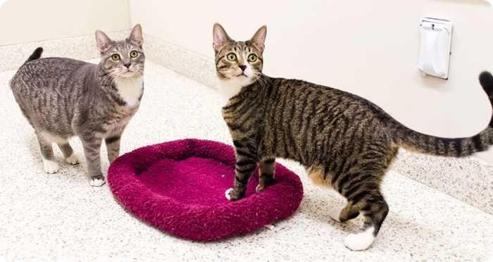 Стерилизация кошки: до какого возраста можно делать?