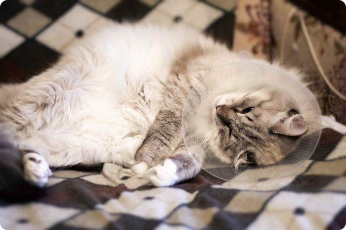 Стерилизация кошки, что это?