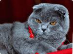 шотландская скотиш фолд кошка стерилизация кошки