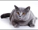 британская кошка стерилизация