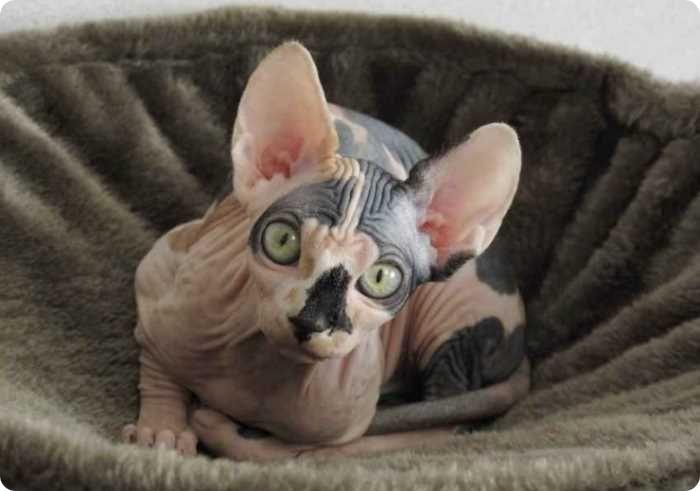 Нужно ли делать прививки коту перед кастрацией?
