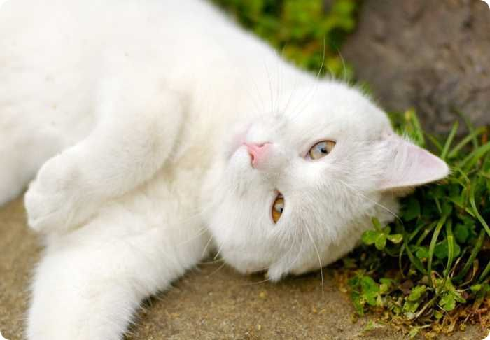 Почему кот продолжает орать после кастрации