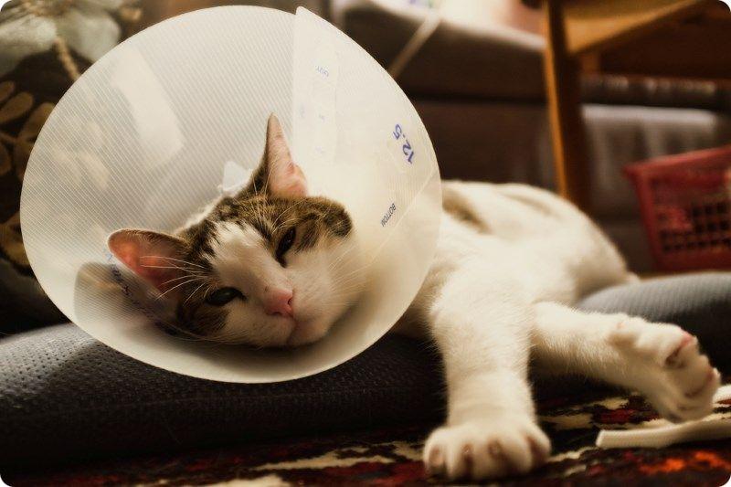 Что значит кастрация кота и для чего котов кастрируют?