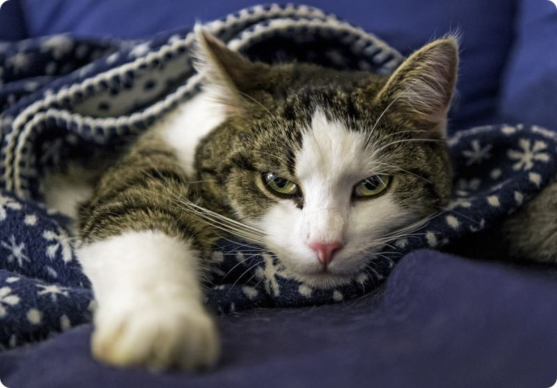 До какого возраста делают кастрацию кота?