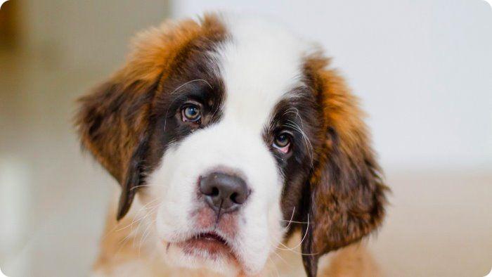 Можно ли гулять со щенком после первой прививки